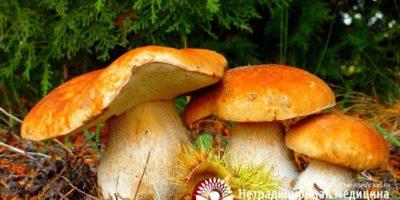 Миниатюра к статье Чем полезны лесные грибы для здоровья человека — грибные секреты