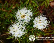 Миниатюра к статье Багульник болотный - чем полезны побеги лекарственного растения?