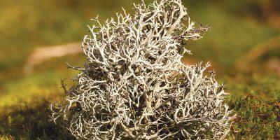 Миниатюра к статье Чем полезен исландский мох и от чего он помогает ?