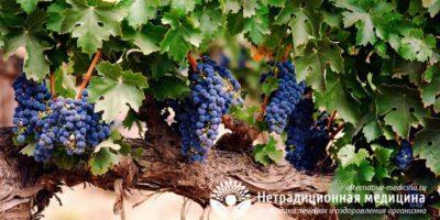 Миниатюра к статье Экстракт виноградных косточек — секрет здоровья  и долголетия в таблетках