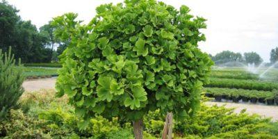 Миниатюра к статье Чем полезно растение гинкго билоба для организма человека?