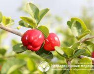 Миниатюра к статье Ацерола и ее экстракт - уникальные свойства и применение барбадосской вишни