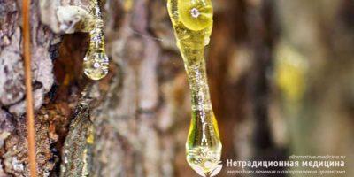 Миниатюра к статье Живица кедровая — живая кровь растений для нашего здоровья