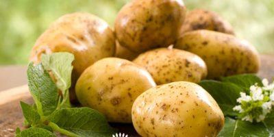 Миниатюра к статье Чем полезен картофель для человека — лечебные свойства и применение