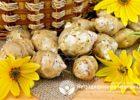 Миниатюра к статье Топинамбур — полезные свойства и применение земляной груши