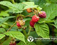 Миниатюра к статье Ароматный и целебный чай из листьев малины - рецепт приготовления