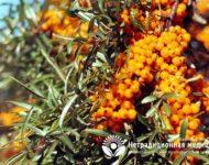 Миниатюра к статье Облепиха  - целебные свойства и способы применения сибирского ананаса
