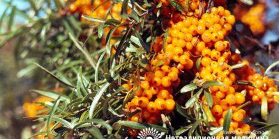 Миниатюра к статье Облепиха — целебные свойства и способы применения сибирского ананаса