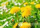 Миниатюра к статье Цветки одуванчика — полезные свойства и рецепты применения