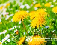 Миниатюра к статье Цветки одуванчика - полезные свойства и рецепты применения