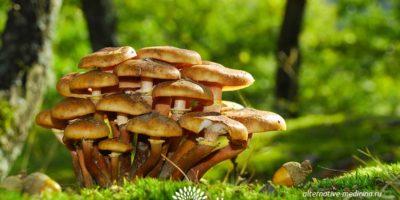 Миниатюра к статье Съедобные грибы опята — секреты сбора и правила приготовления