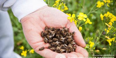 Миниатюра к статье Пчелиный подмор — что это такое, чем он полезен и как его применять?