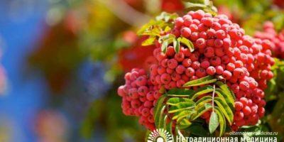 Миниатюра к статье Рябина обыкновенная — лекарственные свойства красных ягод