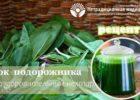 Миниатюра к статье Целебный сок подорожника — рецепты приготовления и применения