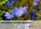 Миниатюра к статье Цикорий обыкновенный — удивительное растение с уникальными свойствами