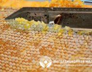 Миниатюра к статье Пчелиный забрус - уникальные целебные свойства восковой печатки