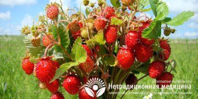 Миниатюра к статье Листья земляники — полезные свойства и рецепты применения