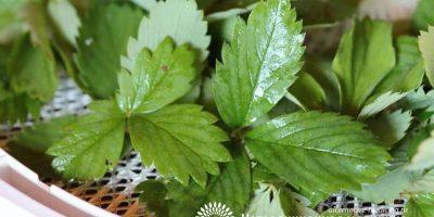 Миниатюра к статье Листья земляники — полезные свойства и способы их применения