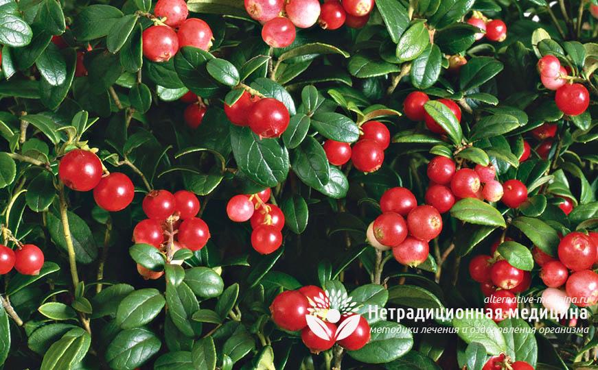 Брусника: полезные свойства и противопоказания для женщин Лечебные свойства листьев, в чем польза для организма, как употреблять после 50 лет