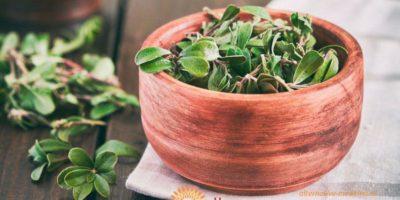 Миниатюра к статье Чем полезны листья толокнянки и как их применять правильно?