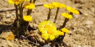Миниатюра к статье Чем полезна трава мать и мачеха для человека?