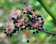 Миниатюра к статье Чем полезна настойка корня аралии маньчжурской?