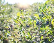 Миниатюра к статье Листья и побеги черники - полезные свойства и рецепты приготовления