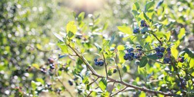 Миниатюра к статье Листья и побеги черники – полезные свойства и рецепты приготовления