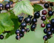 Миниатюра к статье Черная смородина - полезные свойства и способы эффективного применения