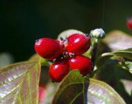 Миниатюра к статье Кизил - чем полезна кислая ягодка для нашего здоровья?