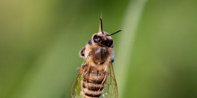 Миниатюра к статье Пчелиный яд – полезные свойства апитоксина и способы его применения