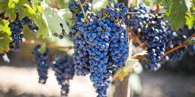 Миниатюра к статье Экстракт виноградных косточек – секрет здоровья  и долголетия в таблетках