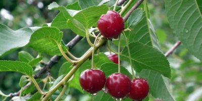 Миниатюра к статье Чем полезна вишня для здоровья человека – секреты сочной ягоды