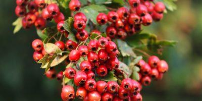 Миниатюра к статье Боярышник кроваво-красный – природный лекарь нашего сердца
