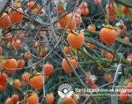 Миниатюра к статье Полезные свойства хурмы -  в чем особенность фрукта и кому ее нужно есть