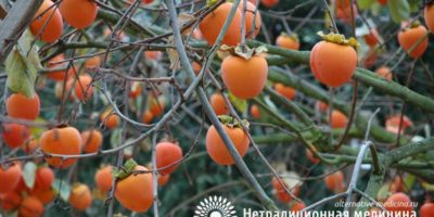 Миниатюра к статье Полезные свойства хурмы –  в чем особенность фрукта и кому ее нужно есть