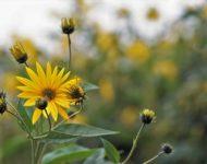 Миниатюра к статье Топинамбур - полезные свойства и применение земляной груши