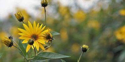 Миниатюра к статье Топинамбур – полезные свойства и применение земляной груши