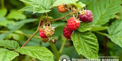 Миниатюра к статье Ароматный и целебный чай из листьев малины – рецепт приготовления