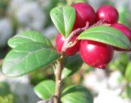 Миниатюра к статье Листья брусники - полезные свойства и рецепты применения в медицине