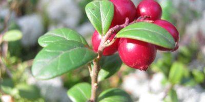 Миниатюра к статье Листья брусники – полезные свойства и рецепты применения в медицине