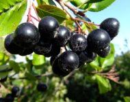 Миниатюра к статье Рябина черноплодная - натуральное природное средство от повышенного давления