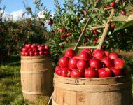 Миниатюра к статье Как приготовить моченые яблоки на зиму в домашних условиях - вкусные рецепты