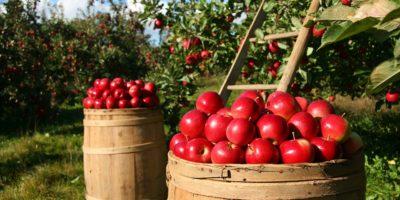 Миниатюра к статье Как приготовить моченые яблоки на зиму в домашних условиях – вкусные рецепты