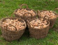 Миниатюра к статье Проростки картофеля - лечебные свойства и рецепты применения