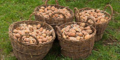 Миниатюра к статье Проростки картофеля – лечебные свойства и рецепты применения