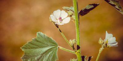 Миниатюра к статье Как использовать алтей при заболеваниях желудка – рецепты фитотерапии
