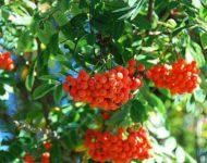 Миниатюра к статье Рябина обыкновенная - лекарственные свойства красных ягод
