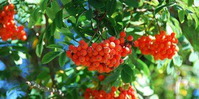 Миниатюра к статье Рябина обыкновенная – лекарственные свойства красных ягод
