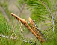 Миниатюра к статье Живица кедровая - живая кровь растений для нашего здоровья